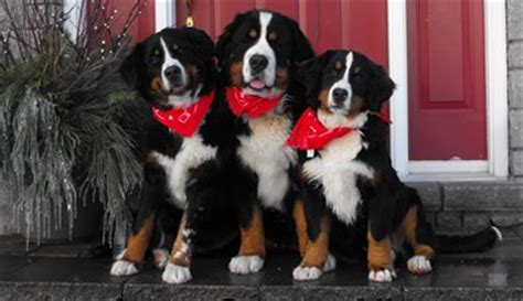 bernese mountain puppies iowa pets wallpapers mini bernese mountain puppies