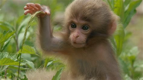 Snow Monkeys   Monkey Babies Start to Explore   Nature   PBS