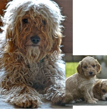 cavapoo haircut before and after cockapoo puppy adult before and after cockapoo