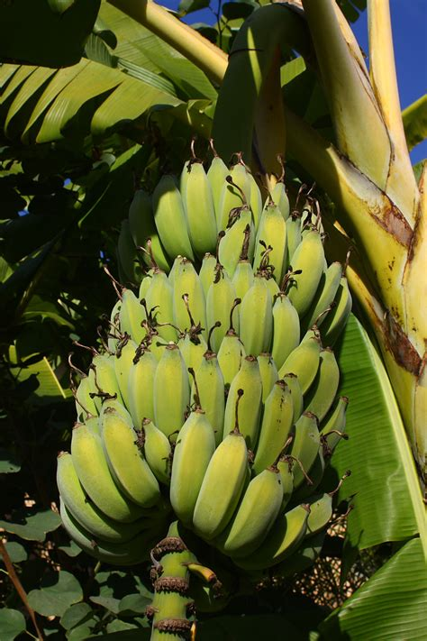 bananas on tree bananas ripening on the tree free stock photo public