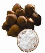 Bibit Kelapa Kopyor Kultur Jaringan bibit kelapa kopyor