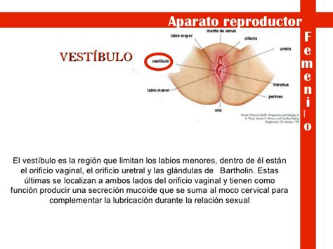 vestibulo feminino aparato reproductor masculino y femenino