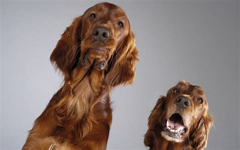 irish setter dog wallpaper wallpaper dog setter irish setter