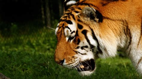wallpaper tiger free download tiger wallpaper free download