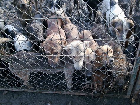the pound dogs serbia smederevo city pound pictures and reports serbian