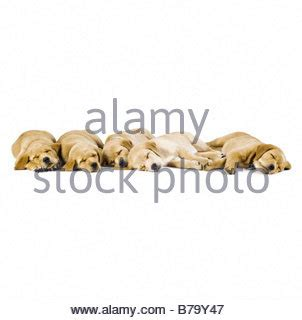 chihuahua cross golden retriever golden retriever of dogs in different coat colours from light stock photo
