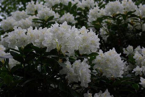 Britzer Garten Rhododendron by Und In Ruanda 2013 Mai