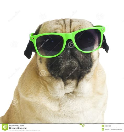 pug with no pug with sunglasses stock photo image 56861982