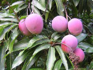 Bibit Mangga Irwin Di Bekasi 8 cara menanam pohon matoa di perkarangan rumah