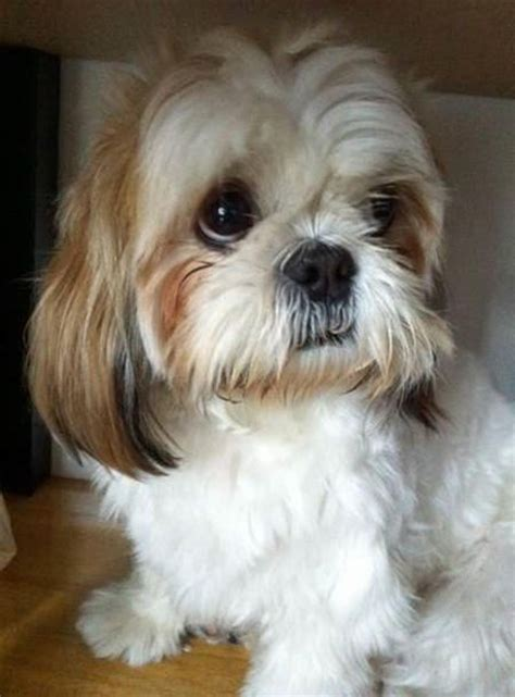 sad shih tzu puppy 691 best shih tzu s are so silly images on
