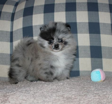 blue merle teacup pomeranian puppies for sale 1000 ideas about blue merle pomeranian on pomeranian puppy blue merle