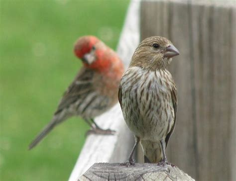 house finch baby birds female and male house finch our backyard birds pinterest