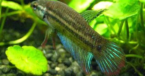 Pakan Ikan Cupang Yang Bagus kriteria cupang adu betina yang bagus untuk indukan