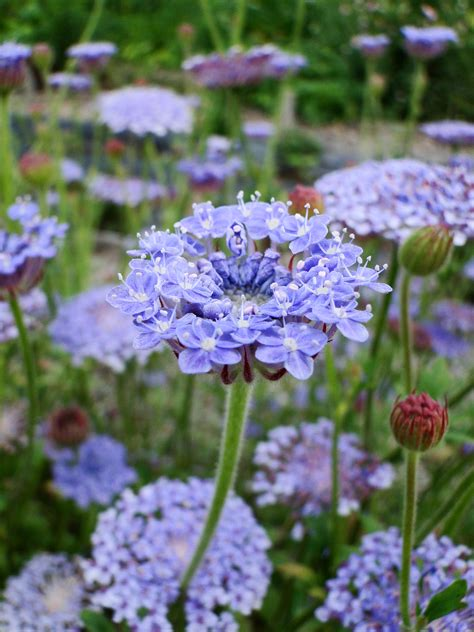 Flower Garden Plants Plant Of The Moment Didiscus Wellywoman