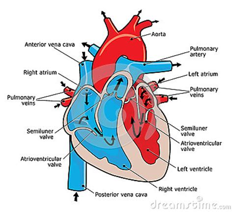 heart cross section diagram heart design diagram heart get free image about wiring