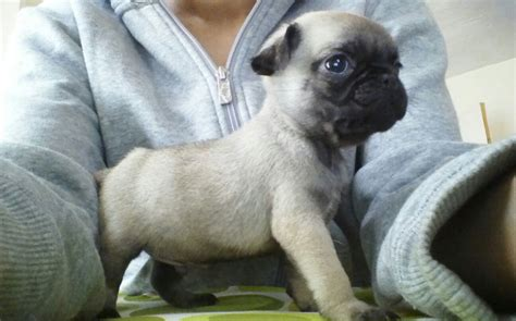 html to pug teacup pug information breeds picture