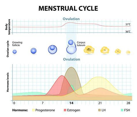 hormone cycle diagram menstrual cycle hormones and fertility