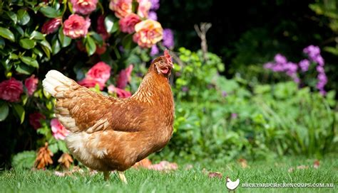 Backyard Chickens Australia by Top 20 Chicken Breeds For Your Backyard Coop