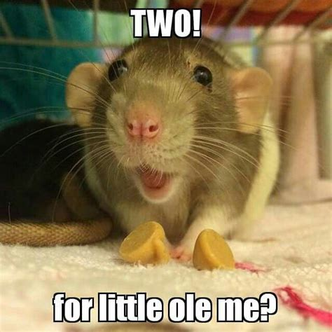Rodent Meme - 395 best images about rats love memes on pinterest