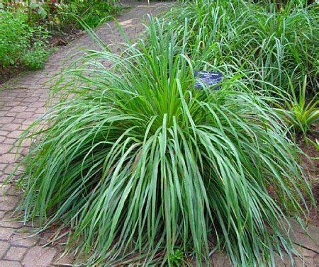 15 must see lemon grass plant pins potted plants patio potted plants and outdoor plants
