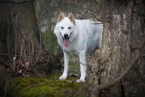 northern inuit puppies northern inuit breed 187 information pictures more