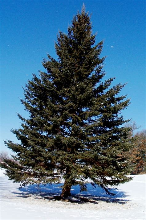 The Pine Tree pine tree search trees pine tree