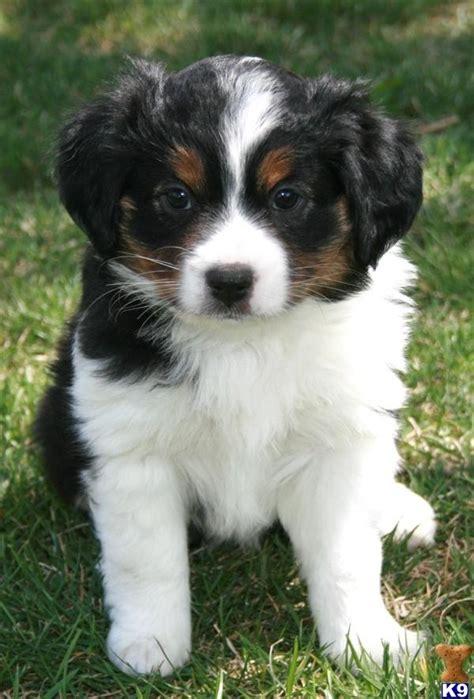 tri color aussie beautiful tri color mini aussie pup creation my