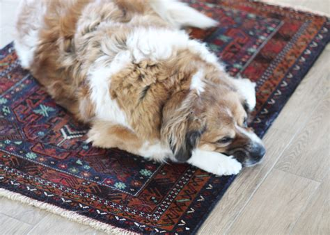 rugs for dogs rubs nose on carpet until it bleeds carpet vidalondon