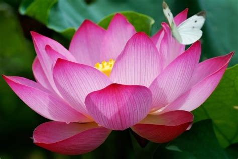 Who Is Lotus Lotus Flower The Beaten Path Adventure Travel