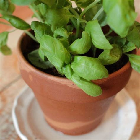 how to save a dying plant how to save a dying basil plant in a pot plant pots