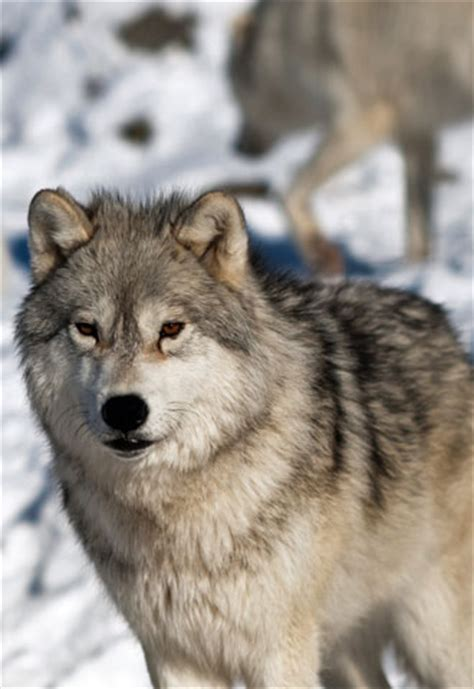wolf facts gray wolf red wolf facts sciencewithkids