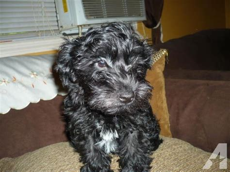 miniature schnauzer yorkie mini schnauzer 1 2 yorkie poo for sale in orlando florida classified americanlisted
