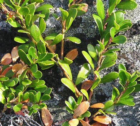 imagenes de uva ursi uva ursi ideal para limpiar los ri 241 ones innatia com