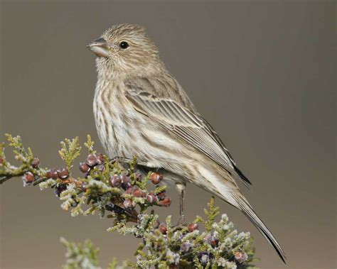 female house finch house finch audubon field guide