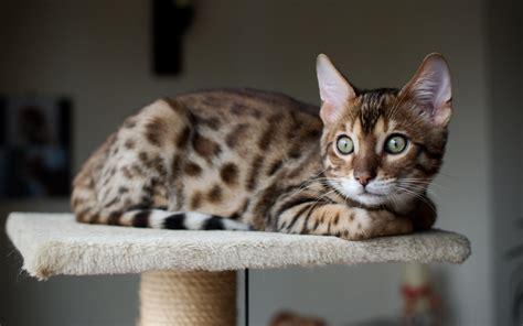 wallpaper bengal cat bengal cat wallpapers hd download