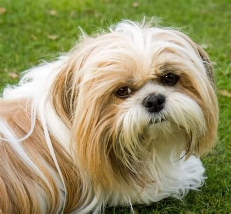 brown and white shih tzu puppy 50 most beautiful shih tzu dogs for home golfian