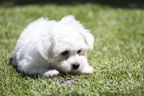 maltese information maltese dogs breed information omlet