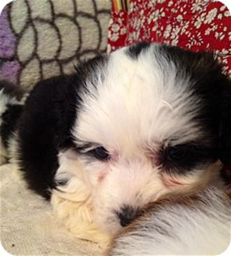 shih tzu st louis shih tzu maltese mix puppy for adoption in st louis missouri spencer