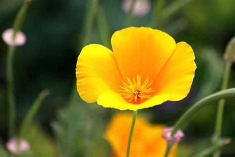 california poppy california poppy photograph by karon melillo devega