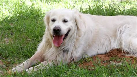 golden retriever grown 50 most stunning white golden retriever photos and images