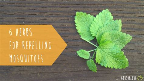 6 herbs that naturally repel mosquitoes and fleas gerson institute gerson institute