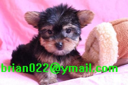 puppies for adoption montana pets great falls mt free classified ads