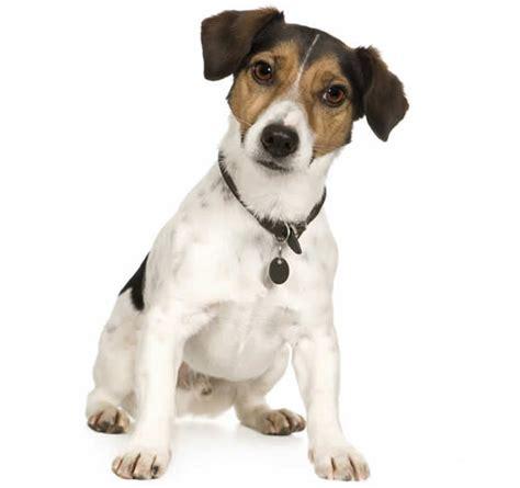 russel alimentazione cuccioli terrier carattere alimentazione taglia