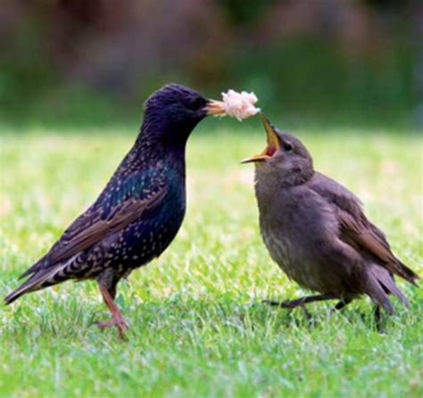 best 28 what do european starlings eat luciani 5