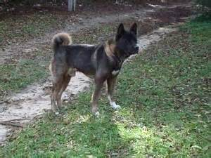 akita puppies for sale nj akita puppies for sale