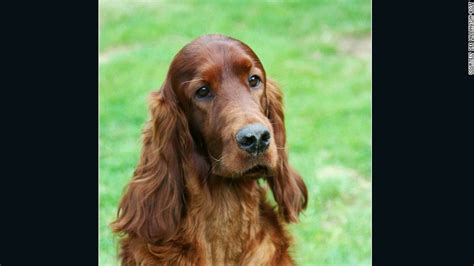 irish setter dies dog show canine competitor poisoned at crufts dog show cnn