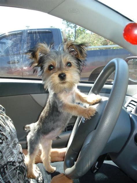 cuts for a chorkie 28 best dog driver images on pinterest doggies animales