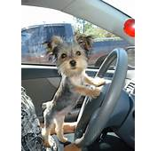Adoreeeable Shaved Yorkie Puppy  On Wheels