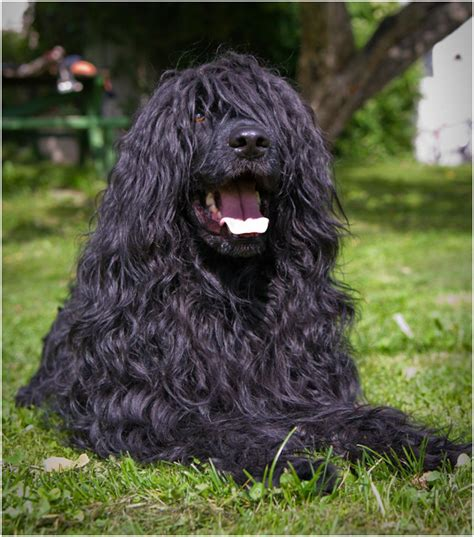 portuguese water shedding 15 dogs that don t shed amazing hypoallergenic breeds 2017