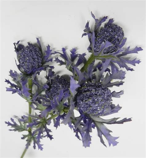 fiori riccione fiore di eryngium fior di loto riccione